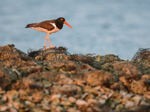 (Haematopus palliatus) at Coffee Island in Mobile Bay, Alabama. The site of oyster reef restoration led by the Nature Conservancy creates important habitat for shorebirds.
