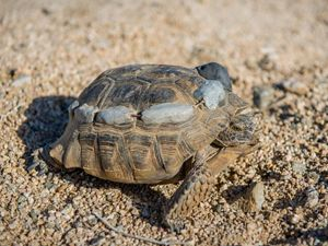 brown tortoise on the sand with trackers on its back