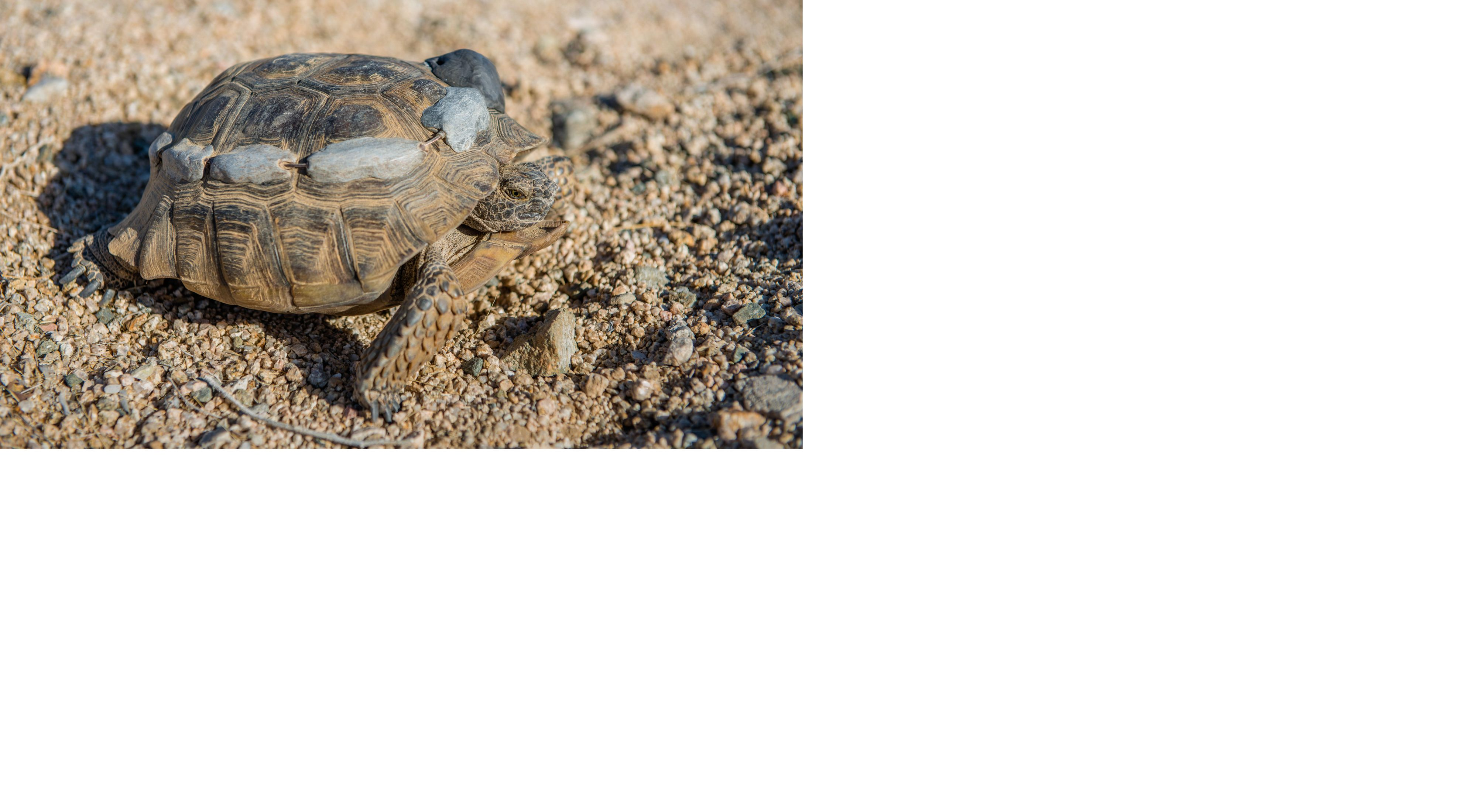 a brown tortoise with grey transmitters on its shell as it walks on the sand.