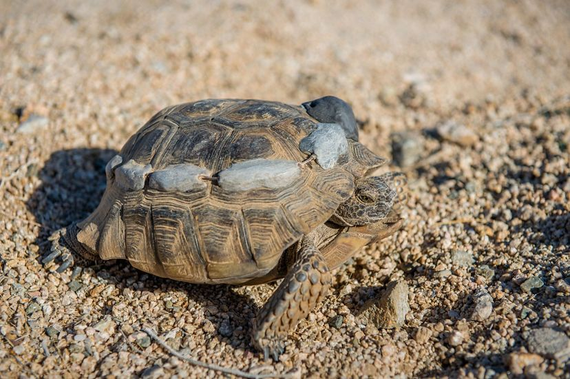 A desert tortoise with radio tracking transmitters attached to its shell.