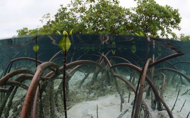 Mangrove displaying impressive arching underwater root system in the Exuma Cays Land and Sea Park, Bahamas.