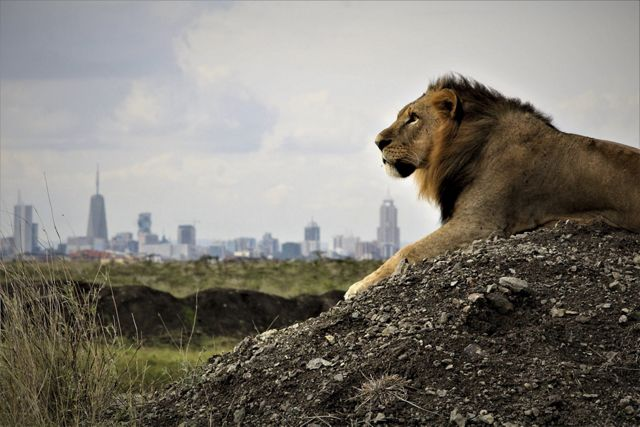 A lion surveys his kingdom with the Nairobi skyline in the background