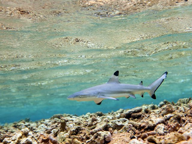 A blacktip shark (Carcharhinus limbatus) at Palmyra Atoll, a spectacular marine wilderness area. TNC bought Palmyra in 2000; today, it's a national marine monument.
