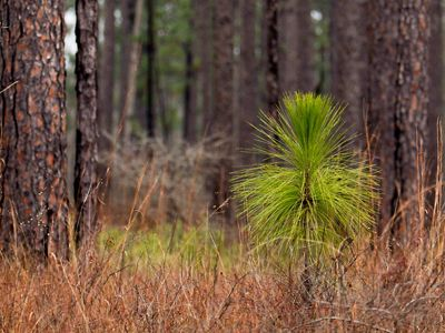 A mixed stand of longleaf pine in the Leaf River Wildlife Management Area near Camp Shelby in Mississippi.