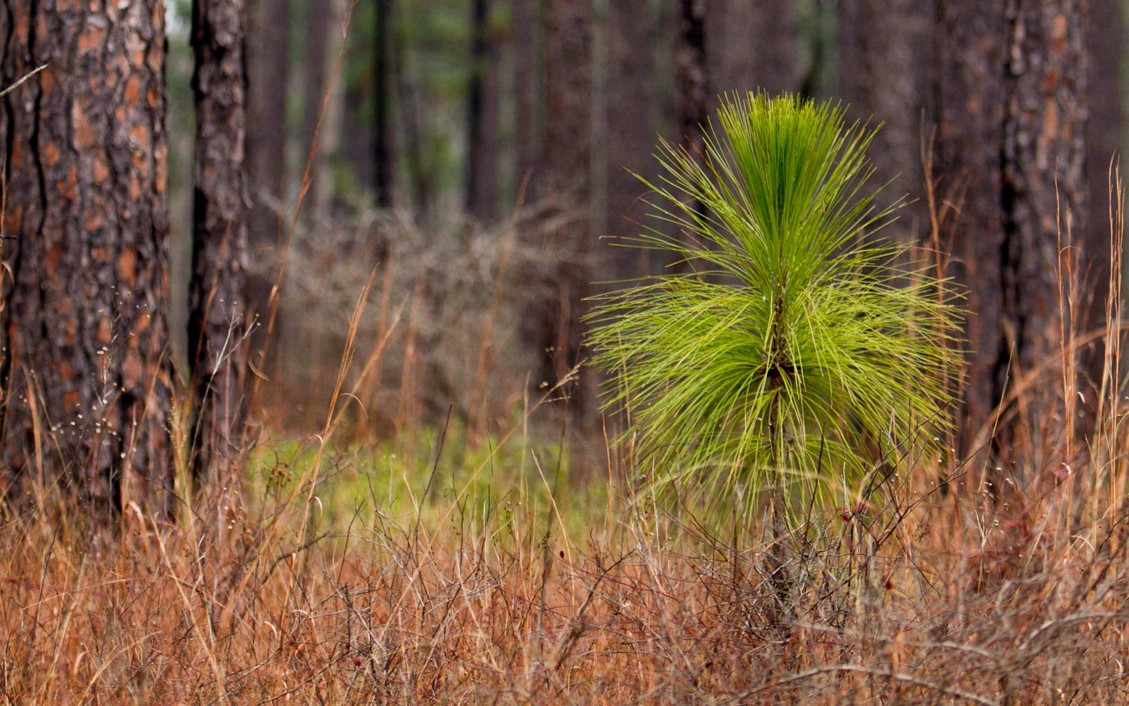 A longleaf seedling at the bottle brush stage in the middle of a mature forest. The bushy top of the seedling resembles a brush.