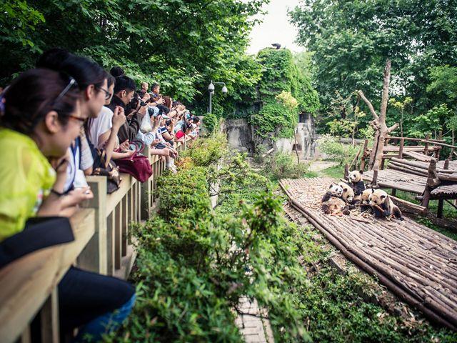 Visitors watch as pandas play at a captive breeding center