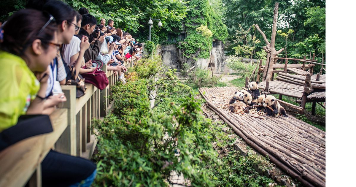 Visitors watch as pandas play at a captive breeding center