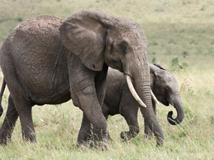 Also known as savanna elephants, the largest living terrestrial animal, photographed in Maasai Mara National Park, Kenya.