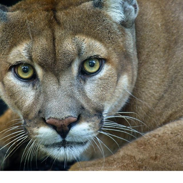 A highly threatened Florida Panther (Puma concolor coryi) at Babcock Ranch, Fort Myers, Florida. This captive animal resides at the ranch as part of an educational exhibit for schools and tourists. The 92,000 acre Babcock ranch in southwest Florida, protects some of the best wetland and wildlife habitat in the state.