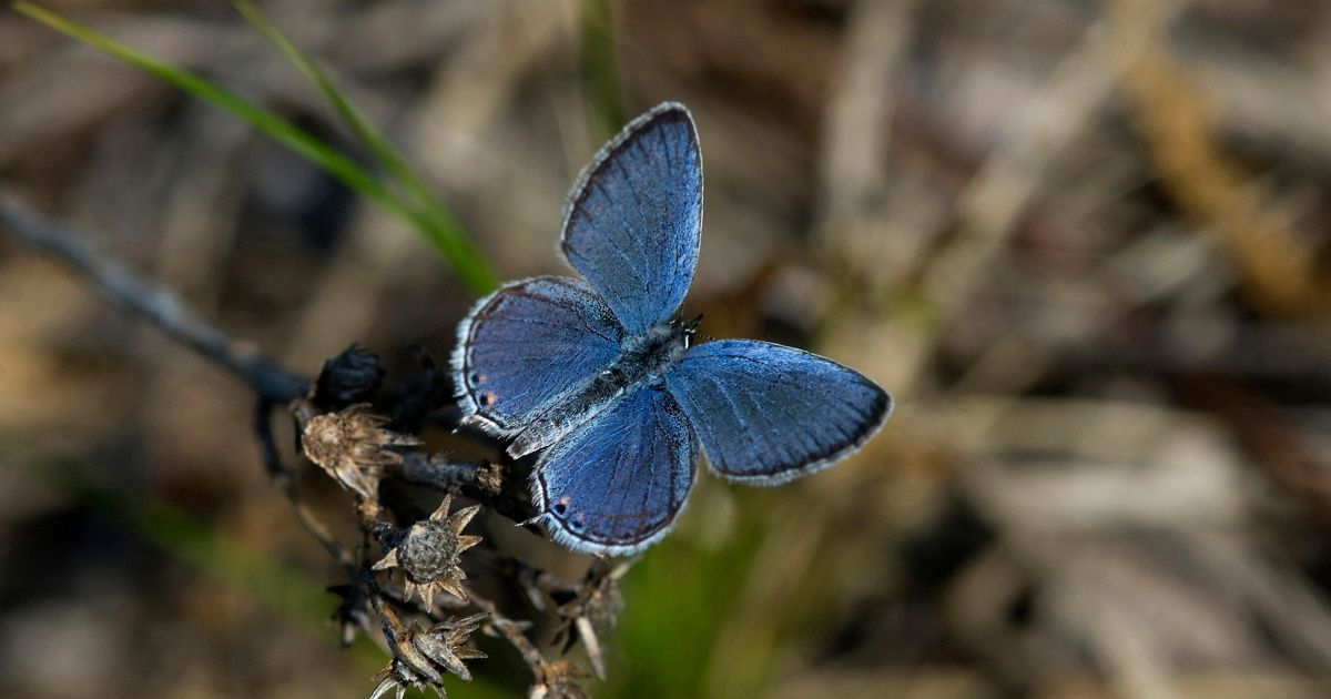 An eastern tailed blue butterfly sits on a small branch.