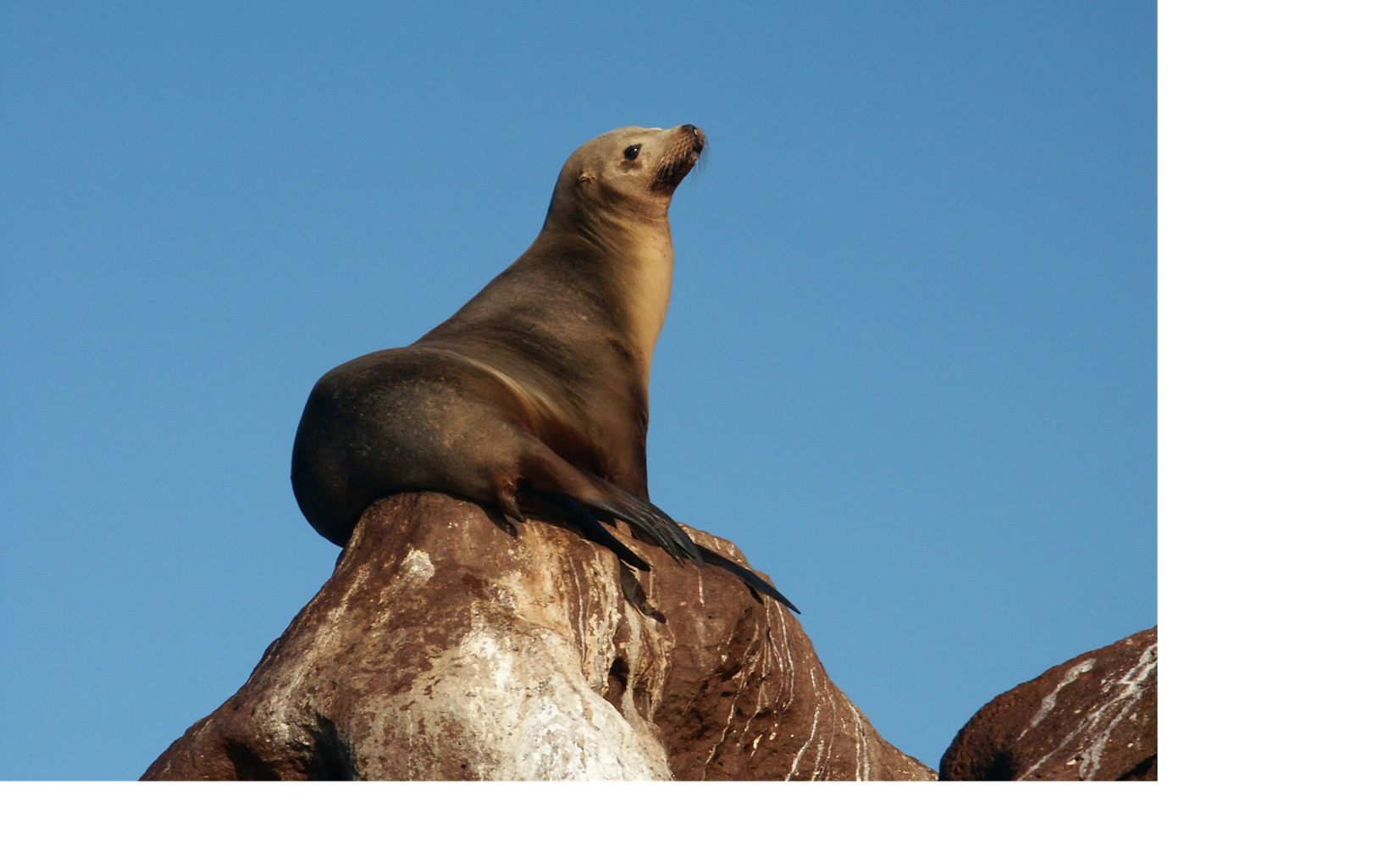 A California sea lion basks on a rock on Isla Guadalupe, the most distant land territory of the Baja Peninsula located in the eastern Pacific ocean, Mexico.
