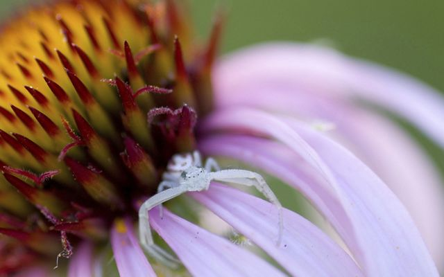 Closeup of the center of a coneflower, with a tiny white spider sitting at the base of the long, lavender petals.