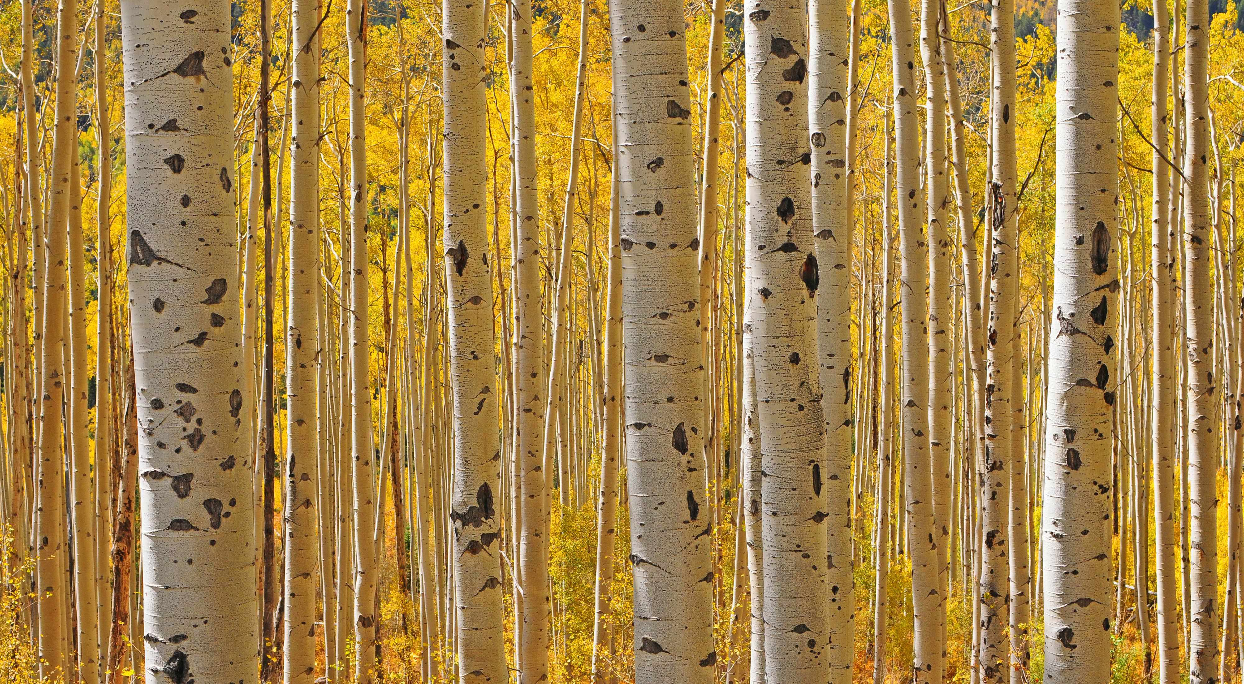 Photo of young aspen trees in Colorado.