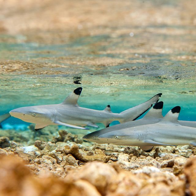 A group of young sharks in shallow, tropical water.