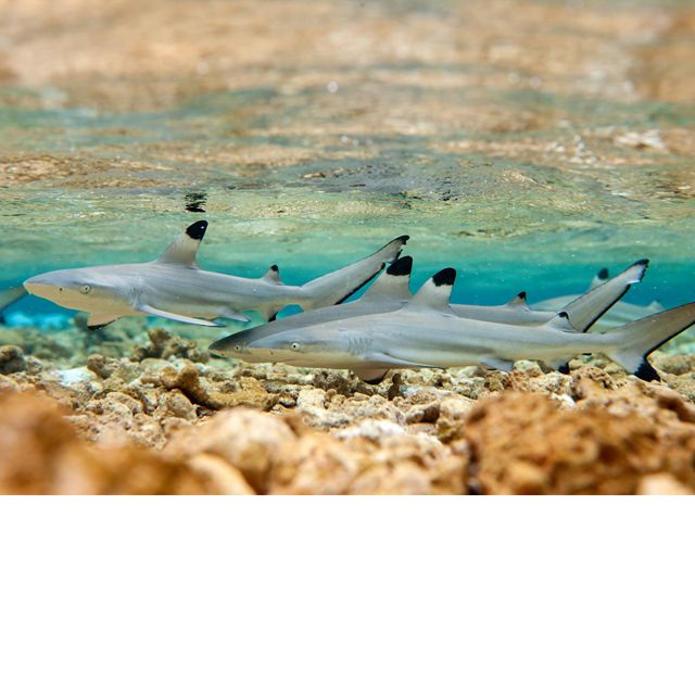 a group of young sharks in shallow, tropical water