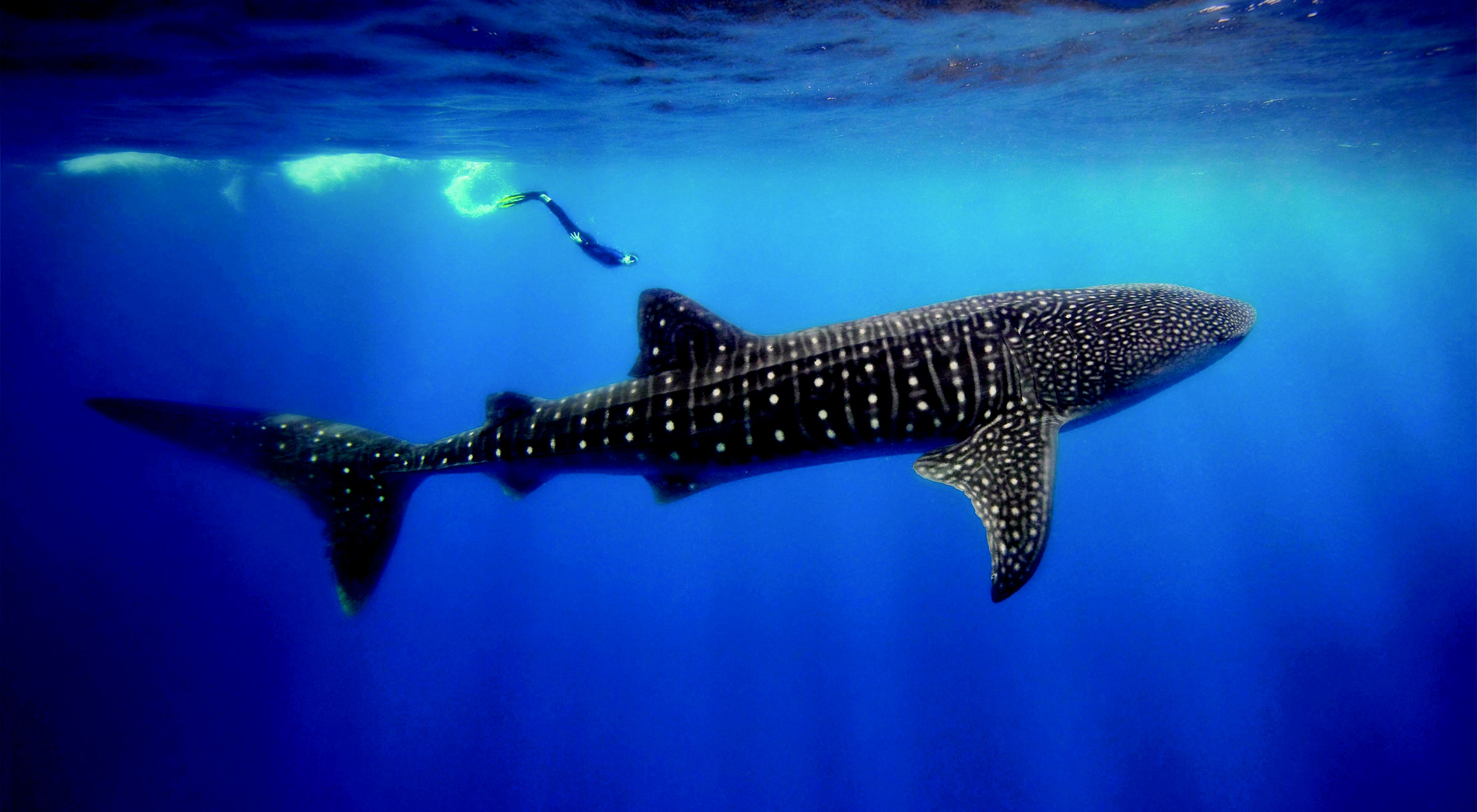 (ALL INTERNAL & LIMITED EXTERNAL RIGHTS) Whale Shark at Gladden Spit in Belize's Barrier Reef. Photo Credit: © Tony Rath