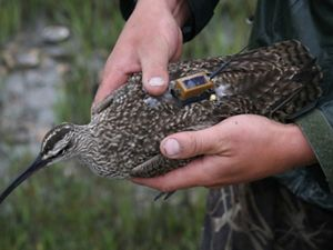 Winnie the whimbrel is fitted with a tiny solar-powered transmitter to track her long-distance migration.
