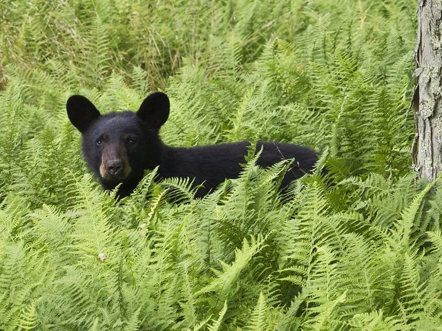Black bears can be found along the Greenbrier River