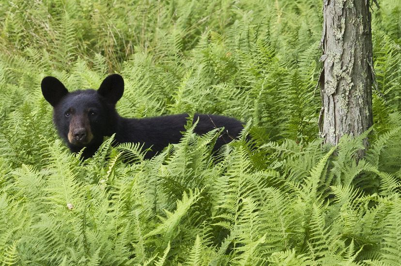 A black bear cub pauses in the middle of a thick stand of tall ferns.