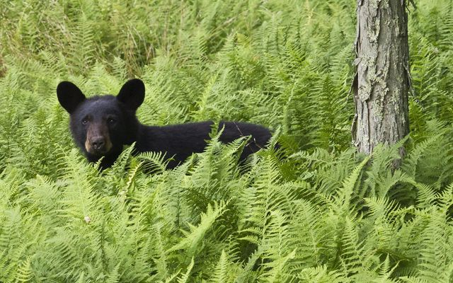 A black bear cub stands in chest deep green ferns looking directly at the camera.