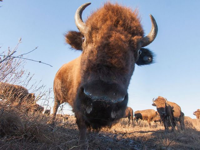 Close-up of an American bison caught by a camera trap hidden in the tallgrass.