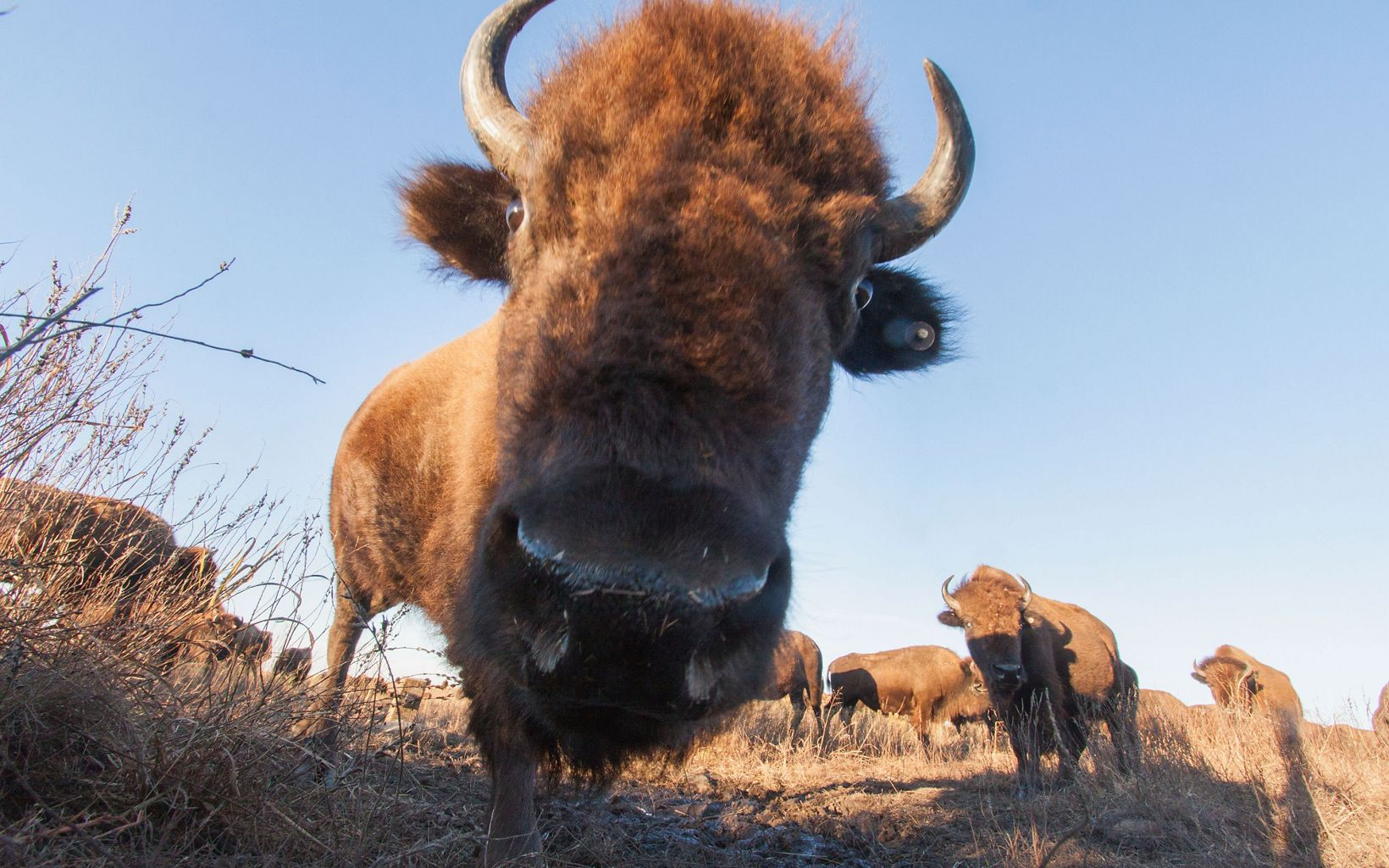 A camera trap set up on the prairie at captures a curious bison.
