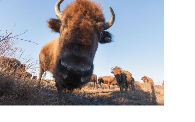 A bison leans it's head in close the camera's lens.