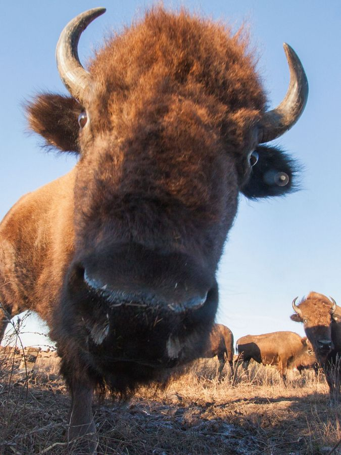 Close-up of a bison's face from a camera trap.