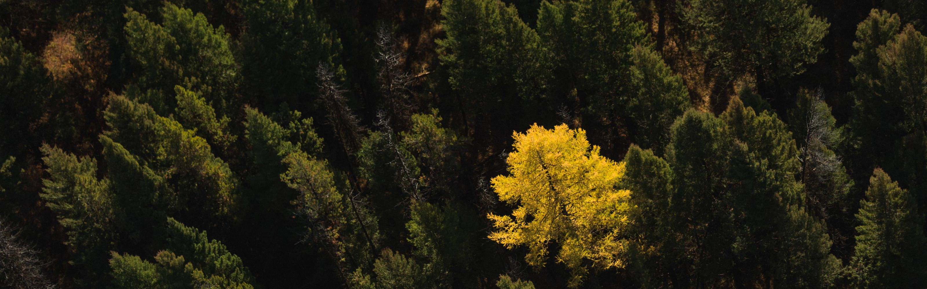 Western Larch (Larix occidentalis) in The Nature Conservancy's Great Western Checkerboards Project, Montana.
