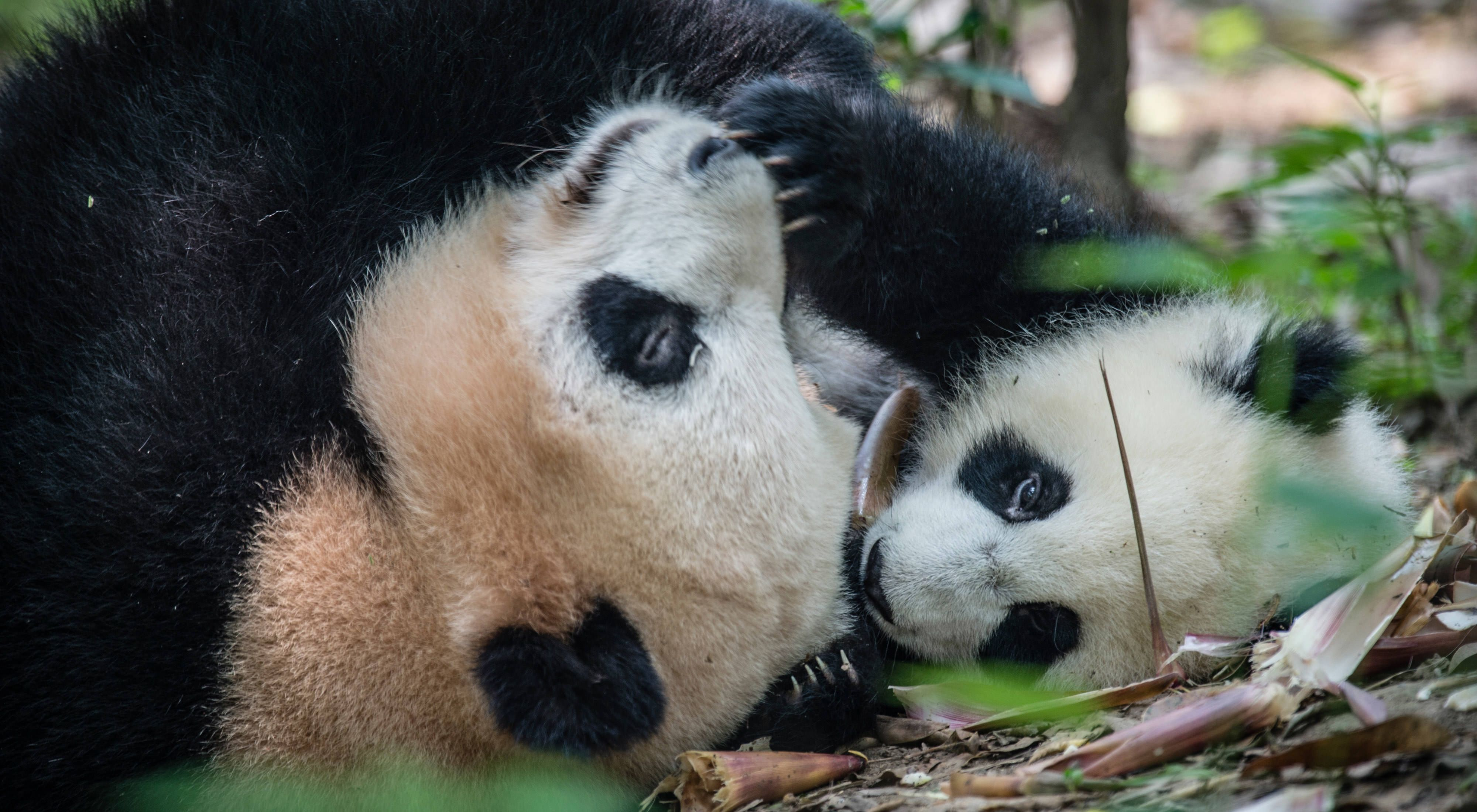 Captive breeding centers like this one in Chengdu are trying to boost the endangered species' population.