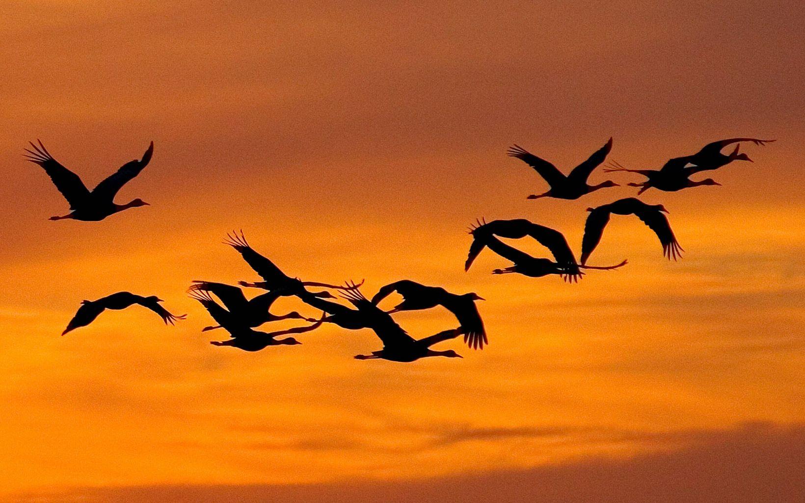 silhouettes of sandhill cranes in flight in an orange sky