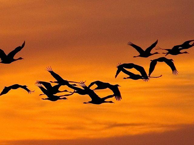 Silhouettes of sandhill cranes in flight in an orange sky.
