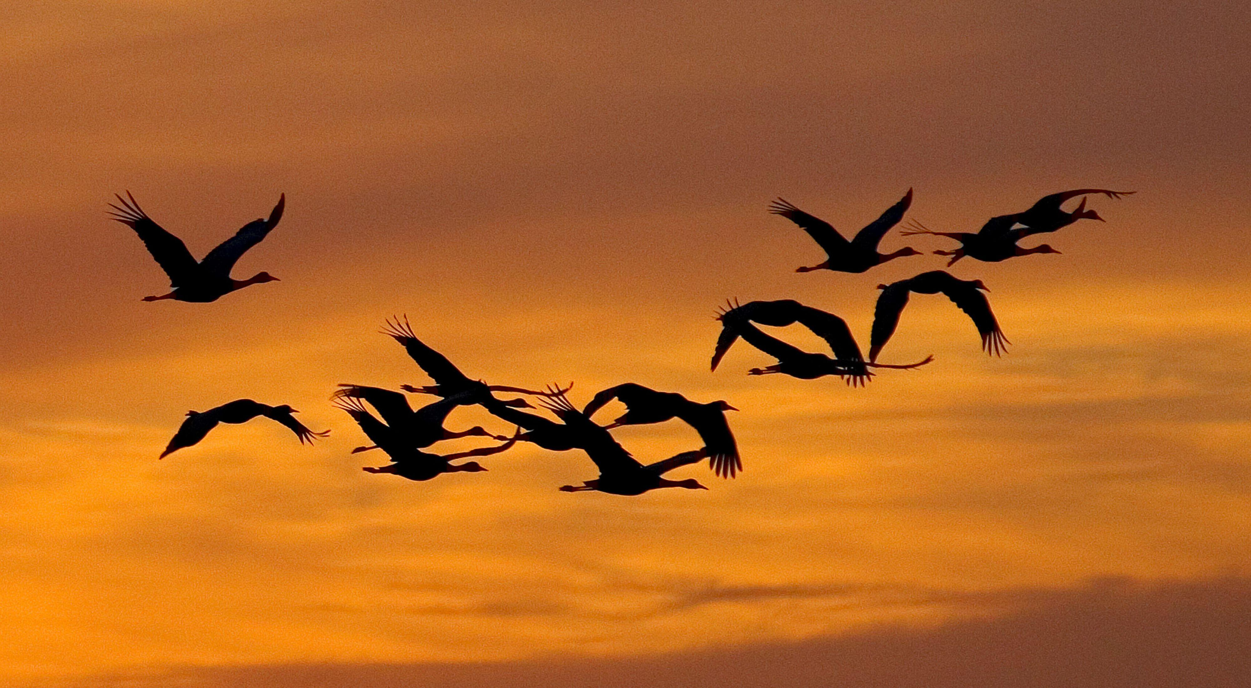 Silhouetted against an orange sky, sandhill cranes fly near the Platte River in Nebraska.