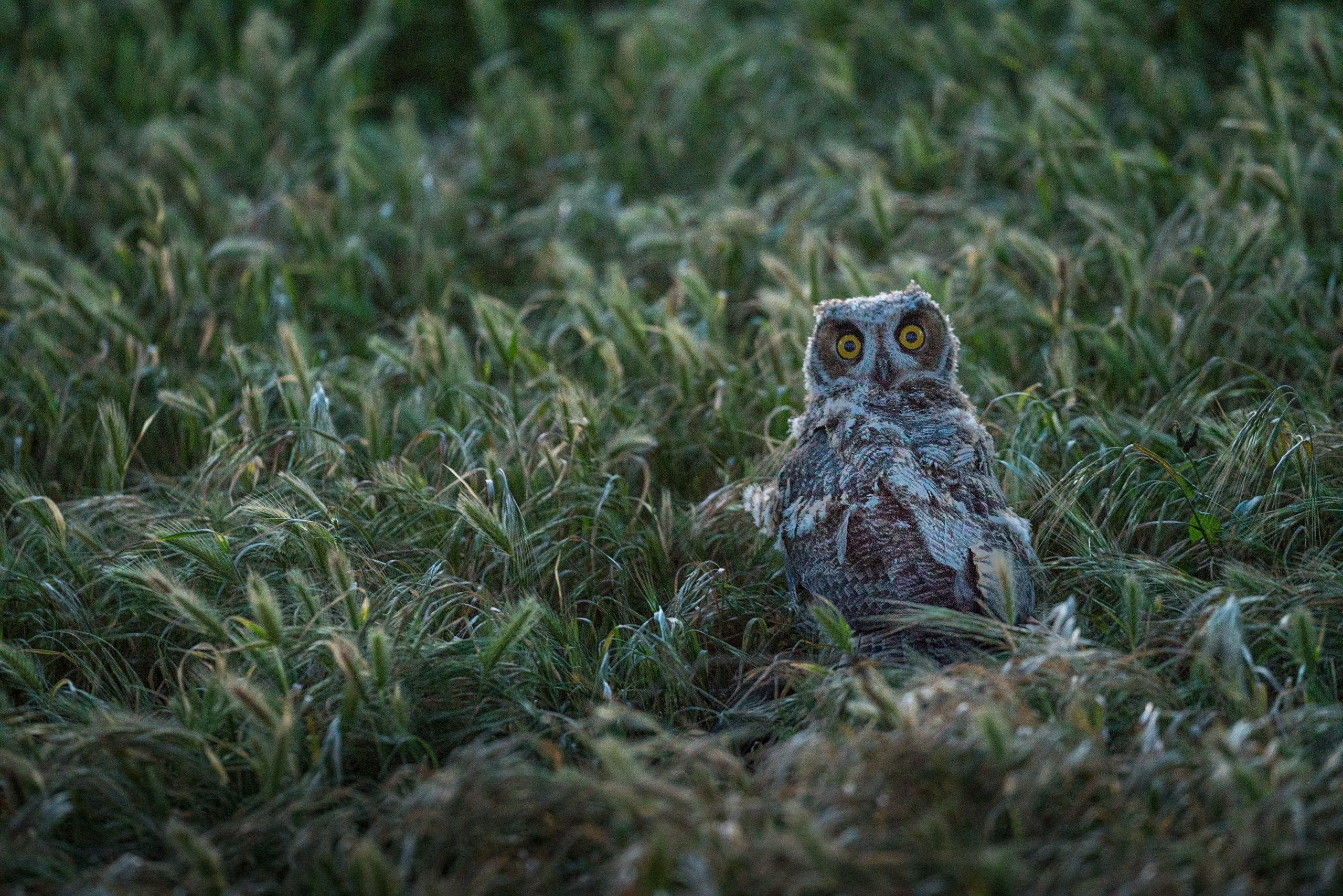 An owl sits in the grass looking directly at the camera.