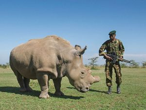 Armed guards watch over Sudan, one of four northern white rhinos (Ceratotherium simum cottoni) at Kenya's Ol Pejeta Conservancy.
