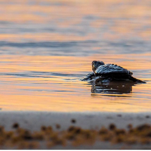 The last of a Summer hatchling of Kemp' Ridley Sea Turtles to make his way to the ocean. South Padre Island, Texas