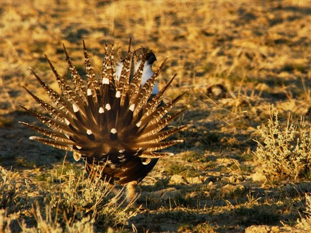 The greater sage-grouse today is found in only 11 states and two Canadian provinces.