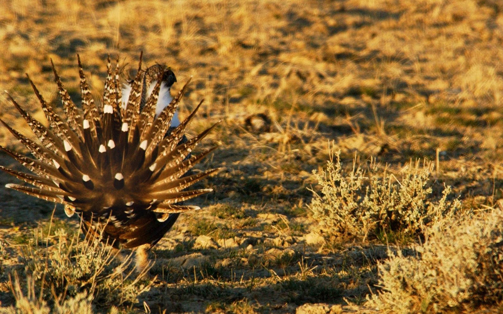 Sage grouse on lek grounds