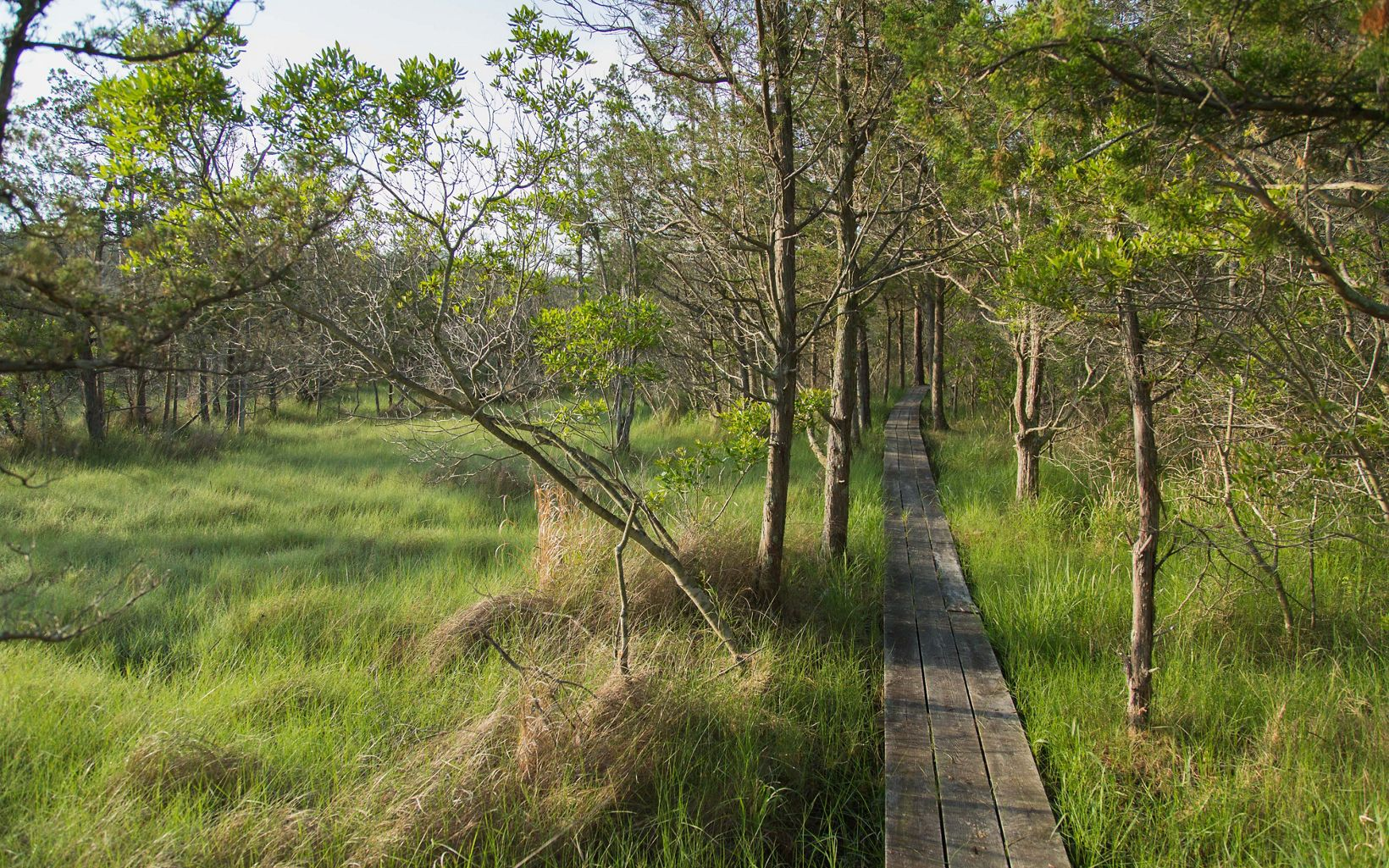 A narrow path built from wooden planks stretches into the distance between a stand of widely spaced trees. Tall grass fills the open space next to the path.