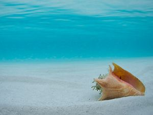Queen conch on seafloor of Exuma Cays Land & Sea Park