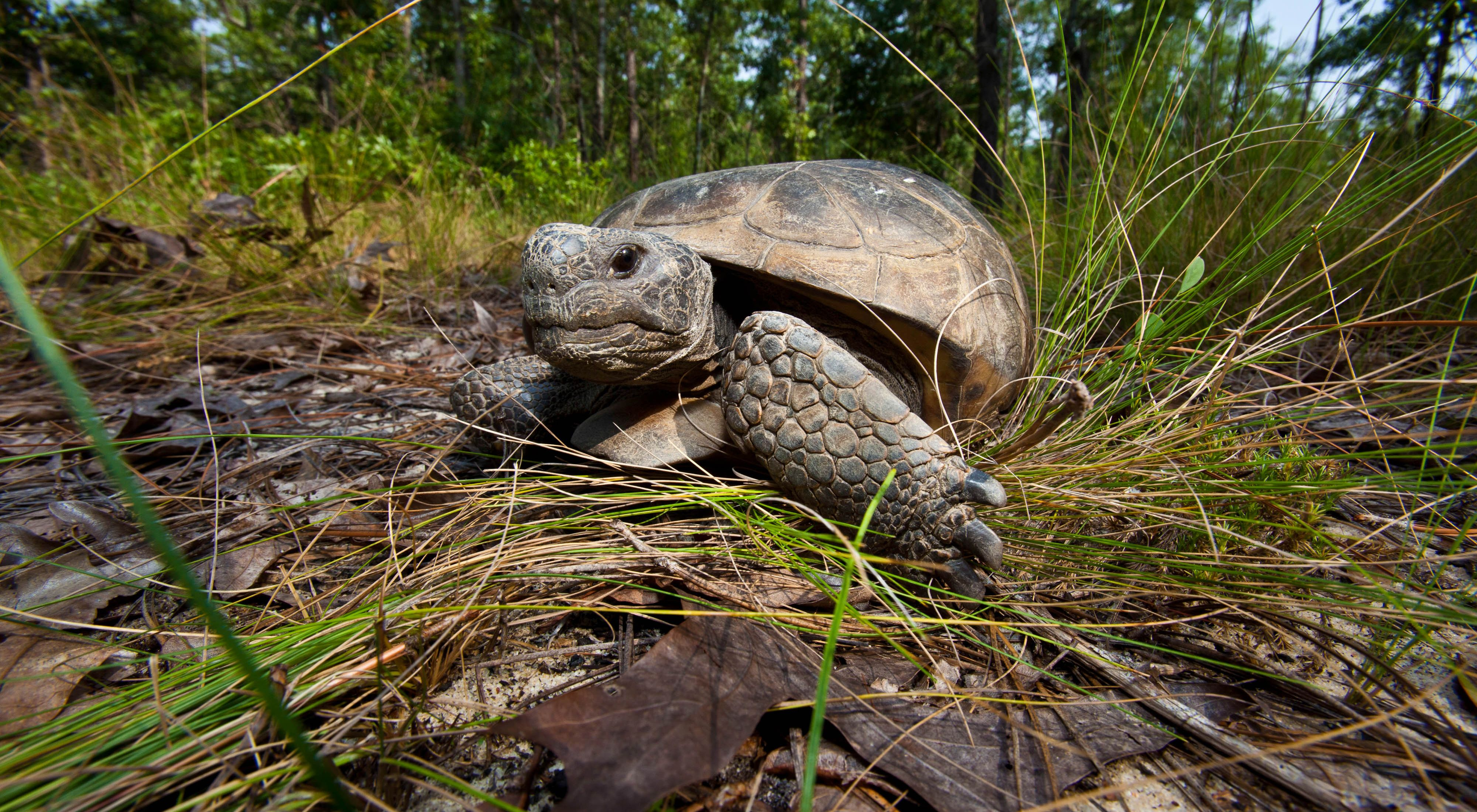A gopher tortoise at Charles Harrold Preserve