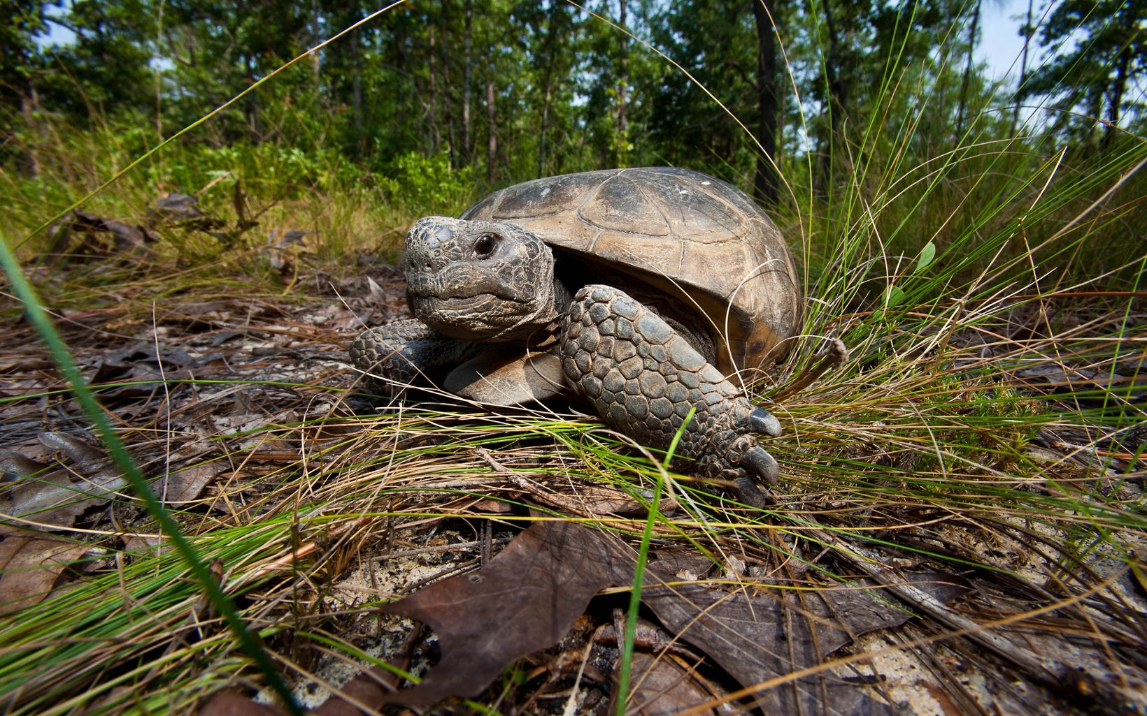 A gopher tortoise walking towards the camera through grass.