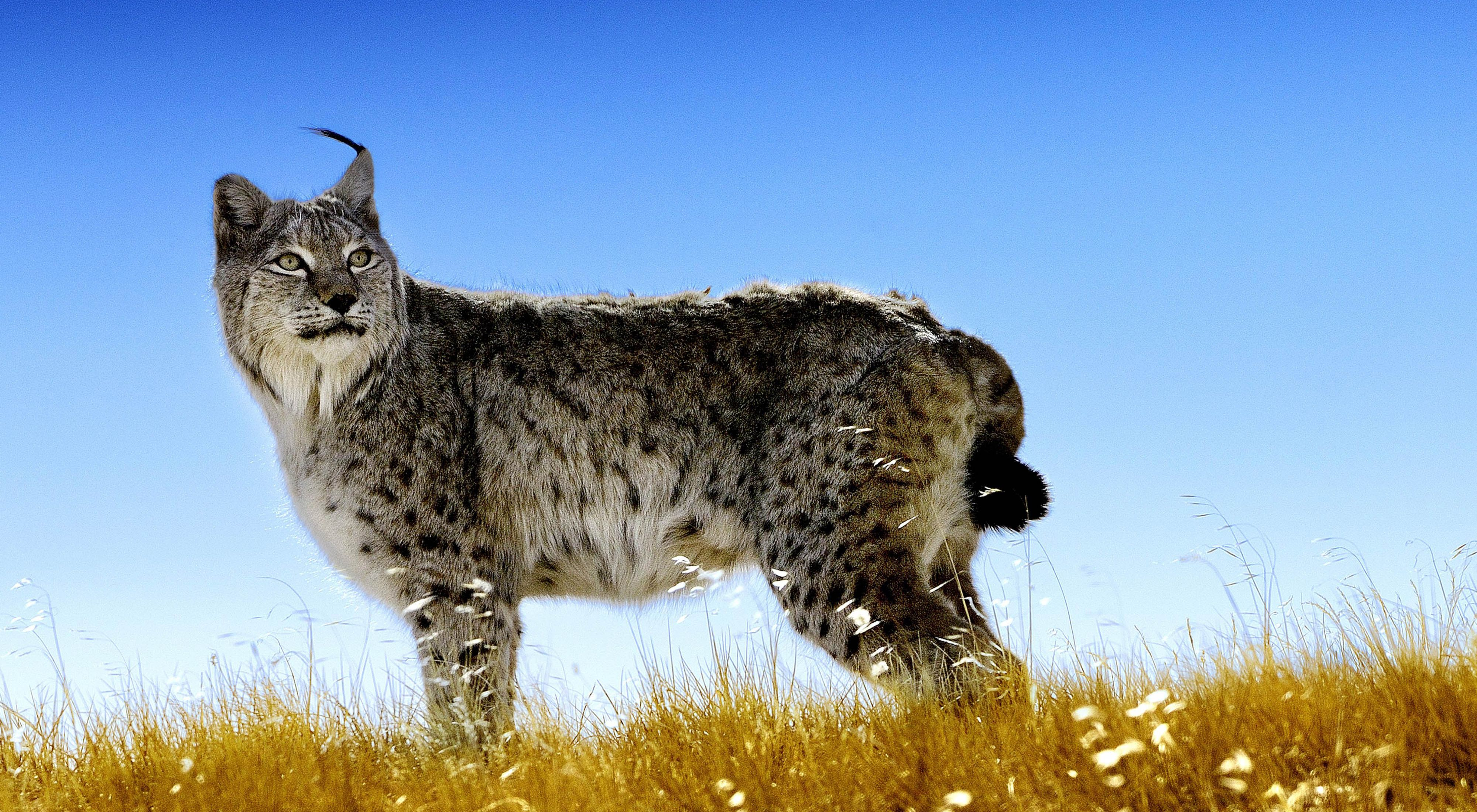a spotted feline on yellow grass against a blue sky