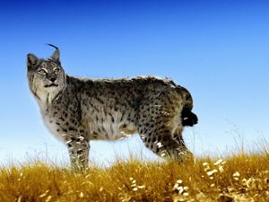 side view of a lynx against a blue sky