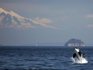 Breaching orca near the San Juan Islands, Washington.