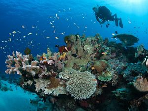 Reef Scenic with Diver, Hard Corals, Reef fishes.