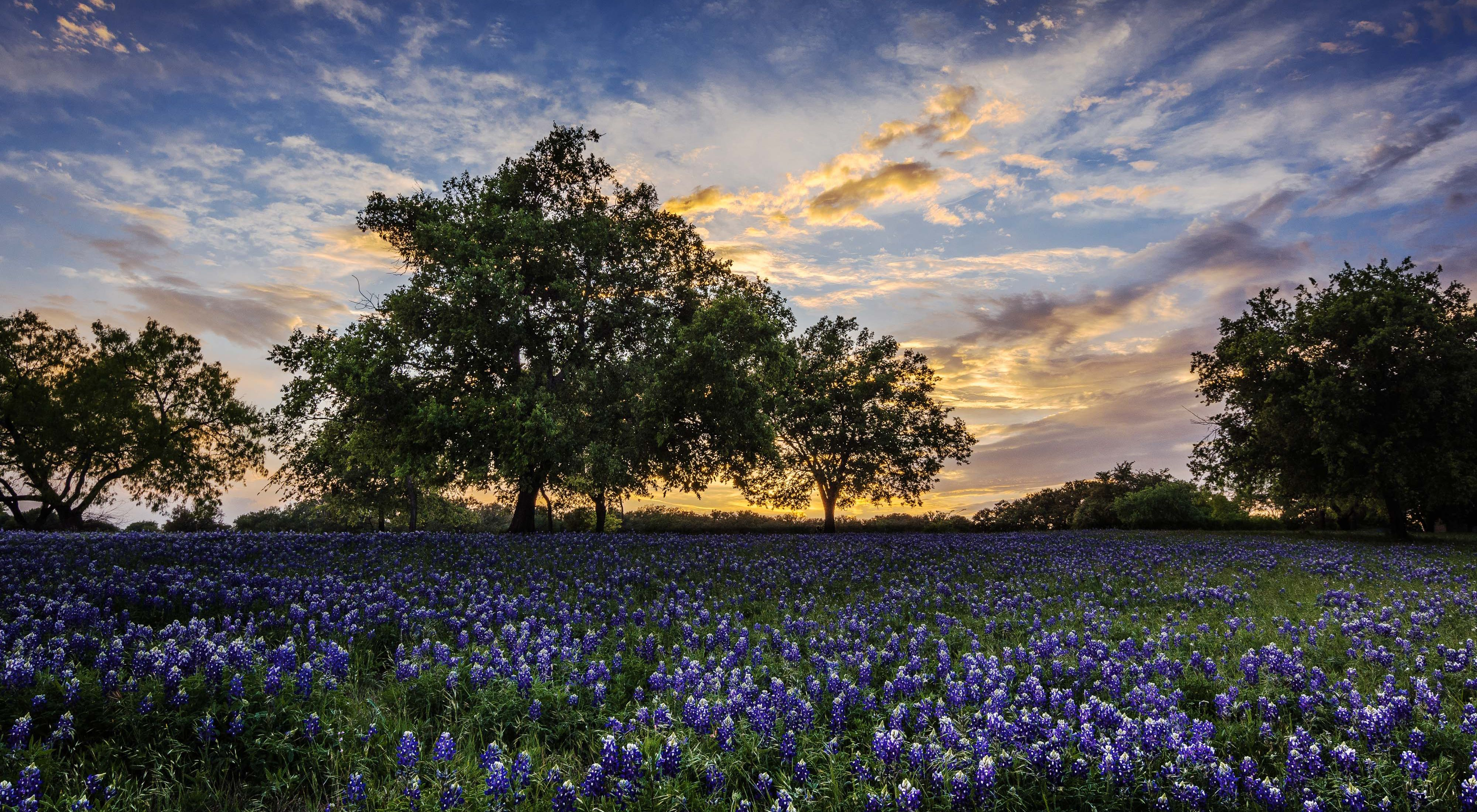 blooming in Marble Falls, Texas.