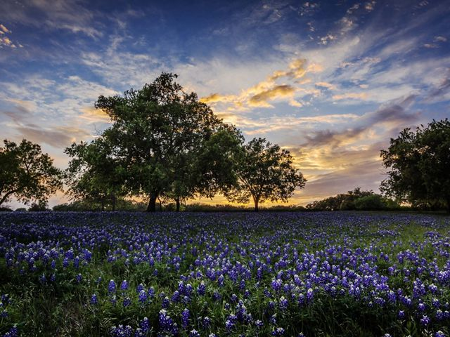 Lush blooming of Texas Bluebonnets at dusk near Austin, TX
