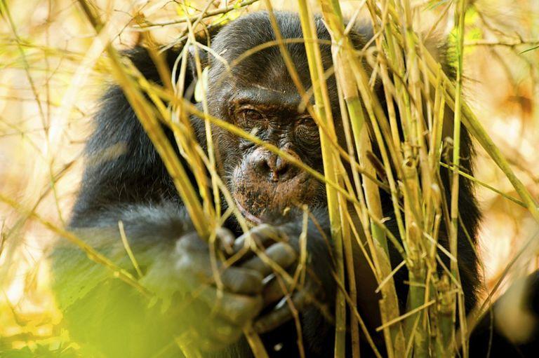 Monkey eating tall grass.