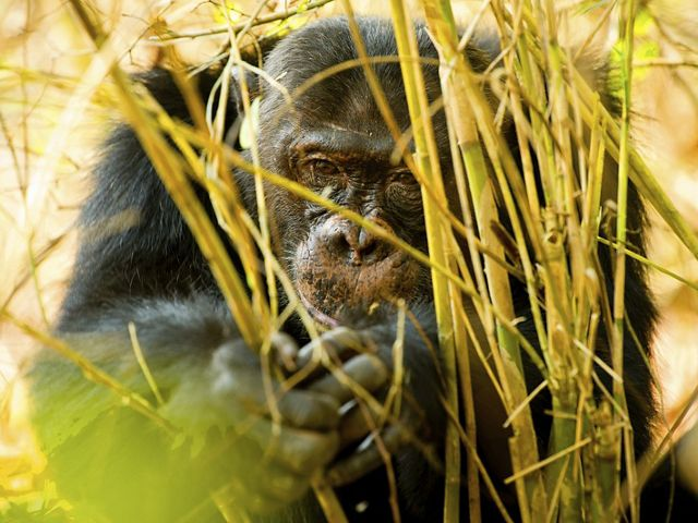 Chimpanzee in the forest at Mahale National Park on Lake Tanganyika in Tanzania.